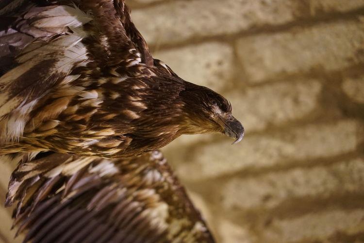 EyeEm Selects One Animal Close-up Animal Themes Eagle Bird