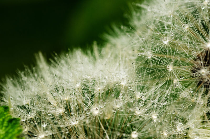 Plant Fragility Beauty In Nature Dandelion Vulnerability  Growth Flower Close-up Flowering Plant White Color Softness Selective Focus Nature No People Freshness Dandelion Seed Uncultivated Day Inflorescence Macro Flower Head Outdoors Soft Focus Dew