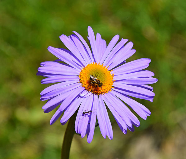 Purple Alpine aster flower with honey bee at work Alpine Alpinus Aster At Work Bee Close Up Close-up Closeup Collecting Flower Honey HoneyBee Nature One Purple Nature's Diversities