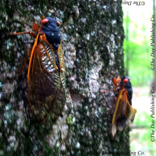 Cicadas following the call of nature into the treetops.