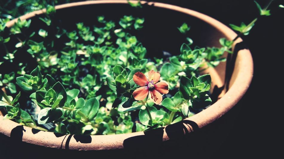 Flower Potted Plant Petal Plant Beauty In Nature Flower Pot Focus On Foreground Blooming Flower Head Springtime Botany Single Flower Nature Green Color Close-up Freshness Fragility Blossom Red In Bloom