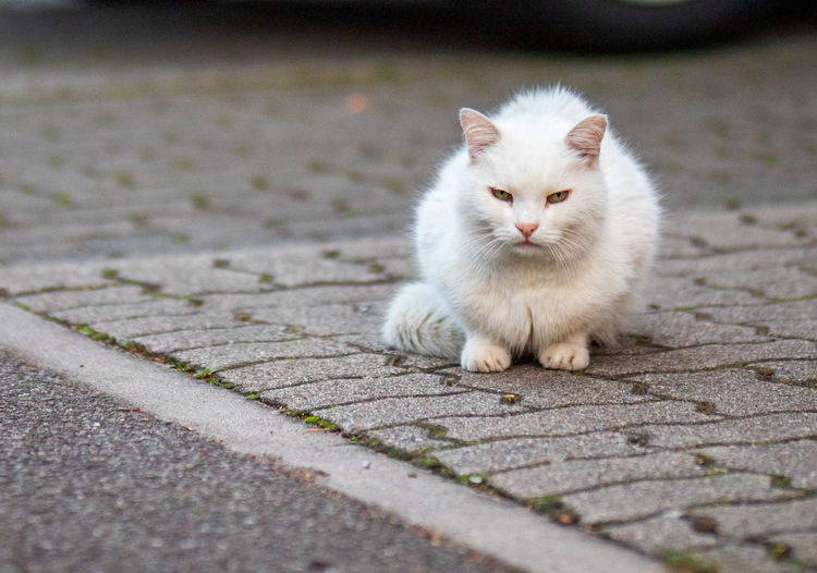 Displeased white cat sitting on the road