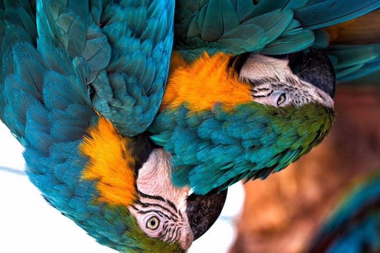 Macaws. Picture is right way up; the birds were hanging downwards. Animal Animal Body Part Animal Head  Animal Themes Animal Wildlife Beauty In Nature Bird Blue Close-up Day Focus On Foreground Gold And Blue Macaw Macaw Multi Colored Nature No People One Animal Outdoors Parrot Vertebrate