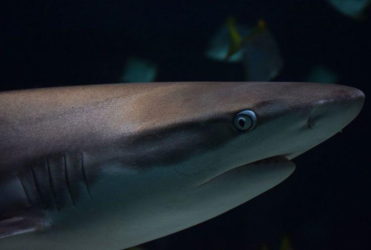 shark Sharkattack Sharkies Sharky UnderSea Sea Life Swimming Aquarium Underwater Shark Sea Water Fish Black Background
