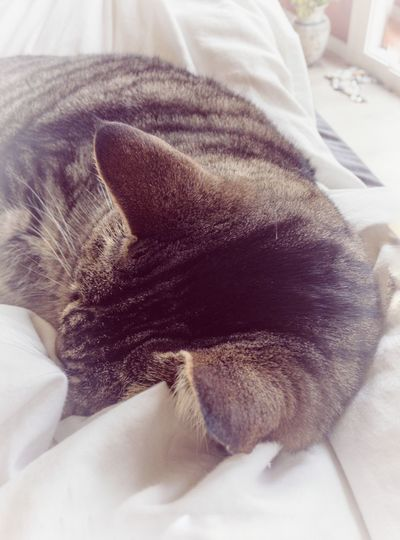 Cat sleeping Pets Are Family Pets Of Eyeem Cat Love Cat Photography Cat Ears Peaceful Moment Love Catching Those Perfect Moments. Pets At Home Pet Serene Softlight  Soft Colors  Softness Furry Friends Inside High Angle View Cat Sleeping Catlovers Cat
