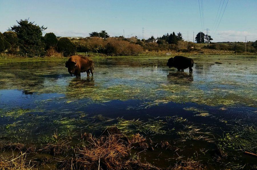 Buffalo Buffaloes Buffalo Surprise