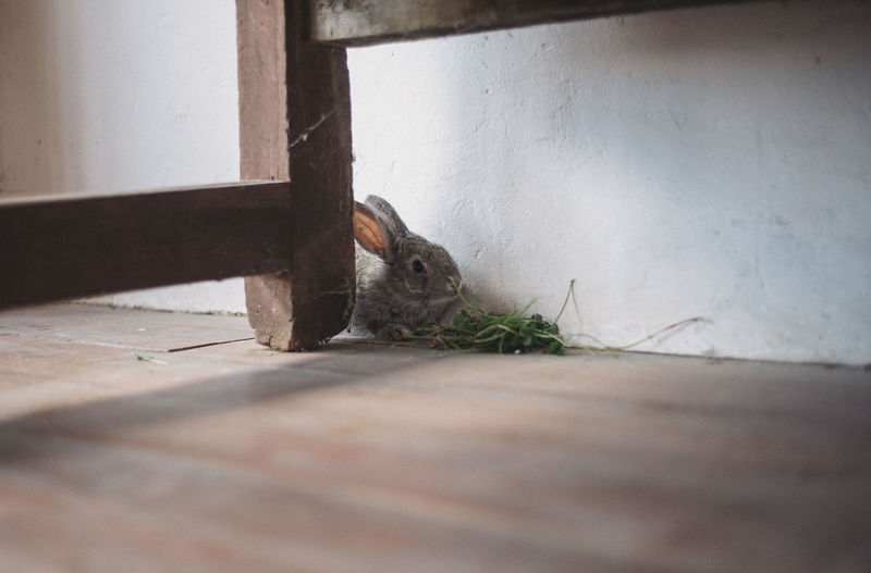 Rabbit Eating Plant By Table On Floorboard