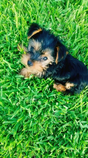 Doggie Puppy Yorkie Hanging Out Park Time Walking Around Play Time Grass Dog Of Eyeem