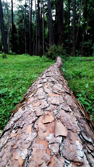 Forest Tree Trunk Pokok Tumbang Kuping Dahan Merekah Perspectives On Nature Be. Ready.