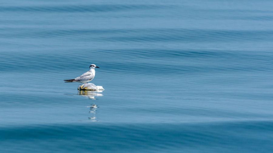 Seagull on a sea