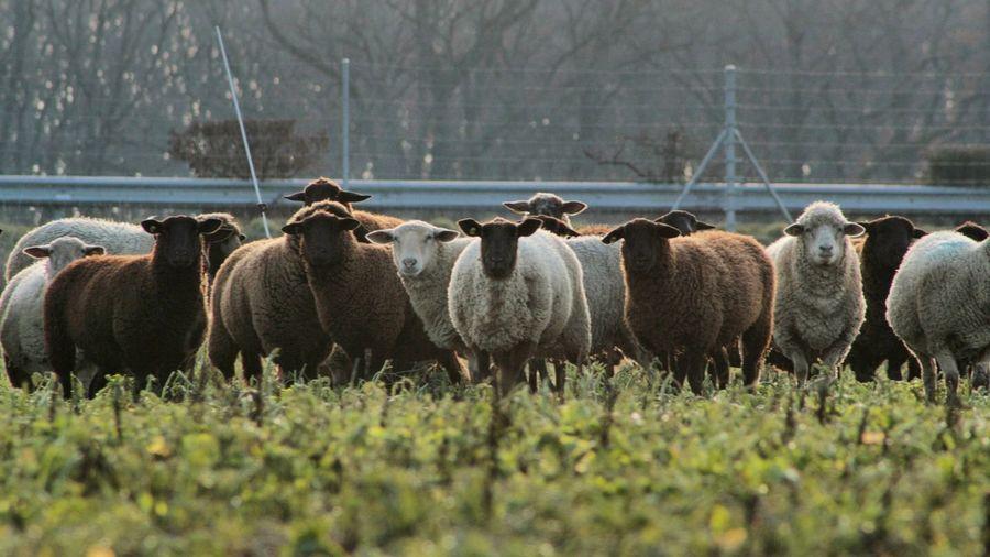 Sheeps Geneve