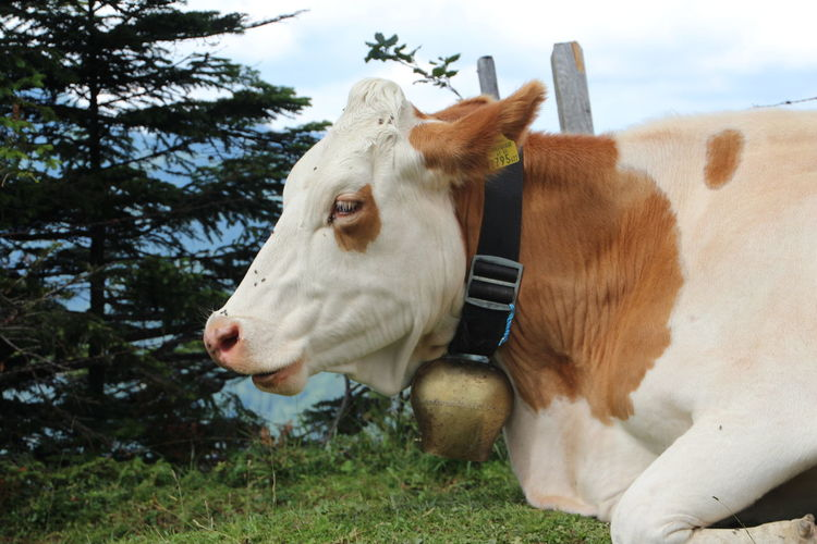 Close-Up Of Cow Relaxing On Field