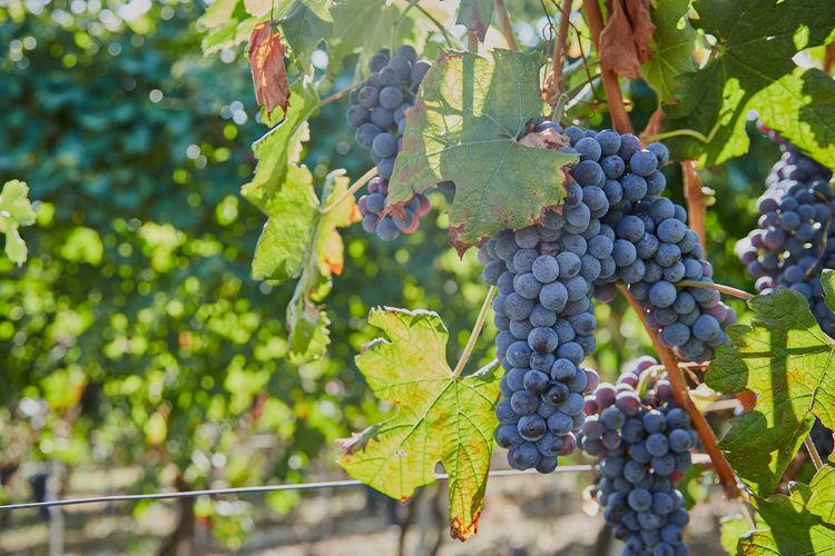 Piemonte Vines