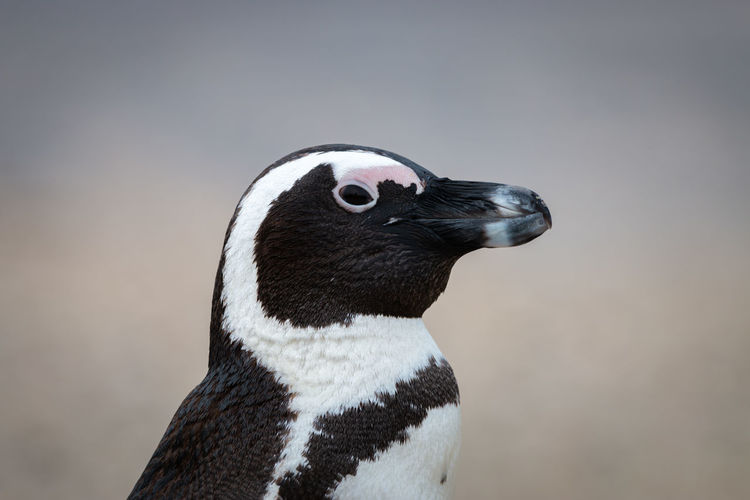 African penguins at seaforth beach colony in cape town, south africa
