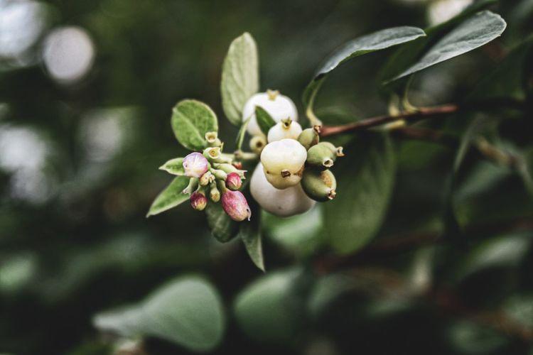 Snowberry,