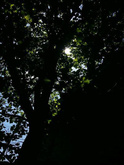 sun thru leaves