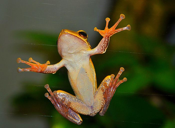 Close-Up Of Frog On Glass