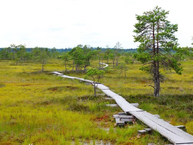 Duckboards at Torronsuo National Park, Finland Beauty In Nature Bog Day Duckboard Grass Green Color Growth Hiking Landscape Nature No People Outdoors Path Path In Nature Pathway Scenics Sky Swamp Swamp Photos Torronsuo Tranquil Scene Tranquility Tree Tree Water
