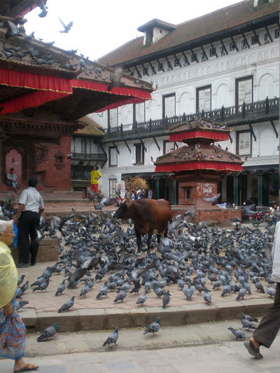 Nepal Architecture Building Building Exterior Built Structure City Cow Day Domestic Animals Group Of Animals Group Of People House Mammal Men Outdoors People Pets Place Of Worship Real People Vertebrate