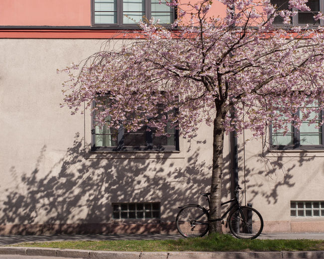 Cherry tree by building in city