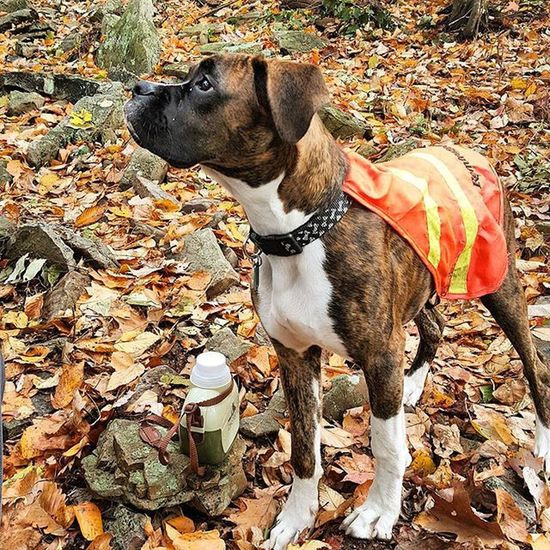Patiently waiting. Dog Lover Boxer Dogs Boxersarebest Boxerlove Boxerdog Naturewalks Boxerpuppy I Love My Boxer Boxer Dogs Rule