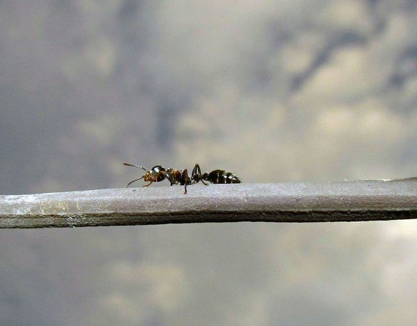 Ants Ware Insects  Insect Photography Macro_collection Macroclique Macro Macro_bugs Formiga Macro Insects