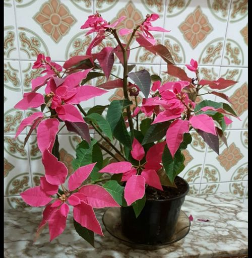 Poinsettia Decoration Plant Close-up Indoors  No People Day Nature Rose Plant Leaf