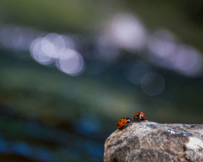 Ladybugs on rock