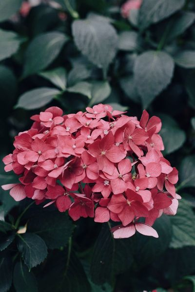 Hydrangea Summer Hortensie Hydrangea Flowering Plant Plant Flower Vulnerability  Fragility Beauty In Nature Petal
