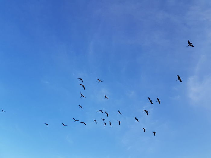 Geese Flyingirltraveling Outdoors Bird Flying Flock Of Birds Silhouette Colony Blue Sky Animal Themes