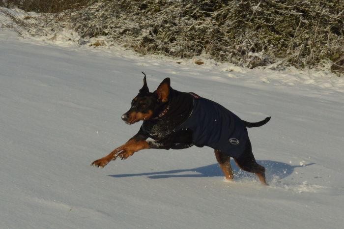 Doberman  Running Sunshine Dog Pets Animal Playing Domestic Animals One Animal Outdoors Snow Portrait No People Mammal Shades Of Winter