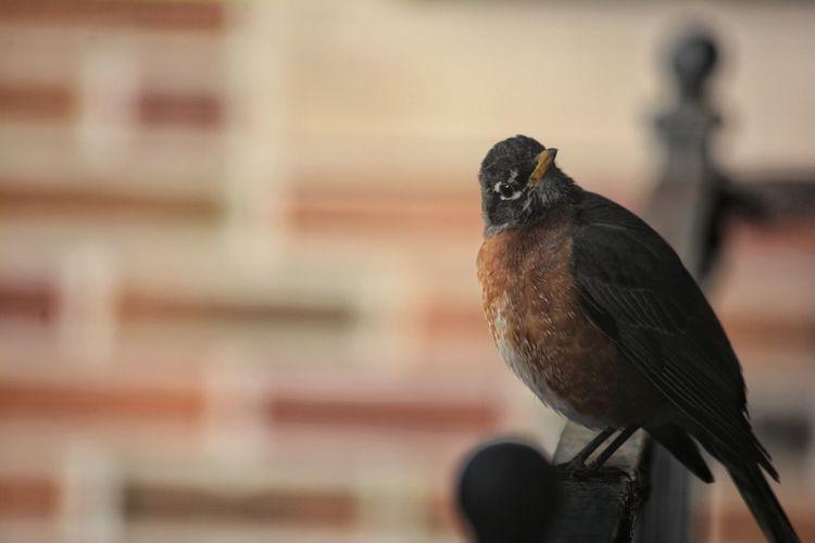 Robin Bird Perching Full Length Close-up