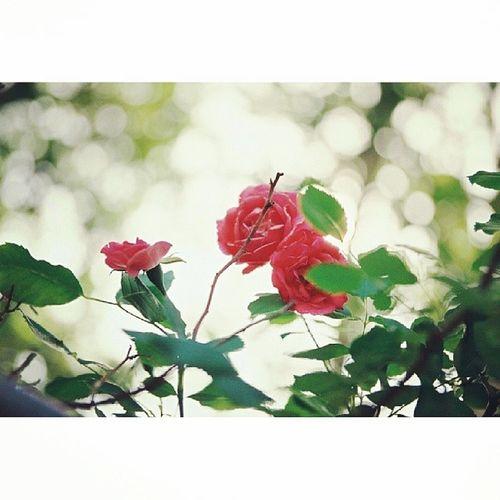 Film Yashica Fx3 Rosé 오랫만에 장미