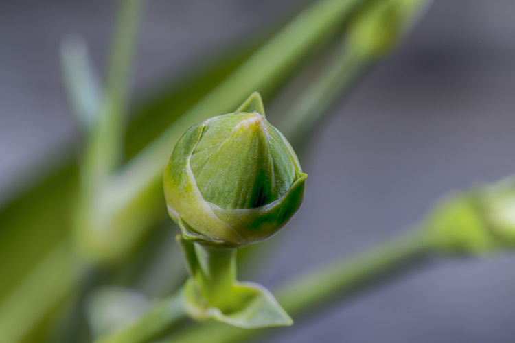 Close-up of lemon growing on plant