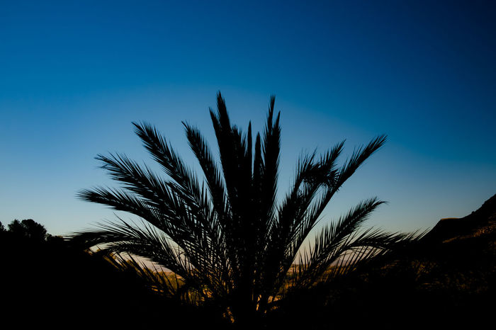 Palm tree Silhouette Sunset Silhouettes The Week oPalm Tree Silhouette Sunset Silhouettes Beauty In Nature Blue Blue Sky Clear Sky Close-up Copy Space Day Dusk Growth Low Angle View Nature No People Outdoors Plant Scenics - Nature Silhouette Sky Sunset Tranquil Scene Tranquility Tree The Great Outdoors - 2018 EyeEm Awards