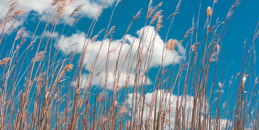 Close-up of dry reeds against sky and clouds