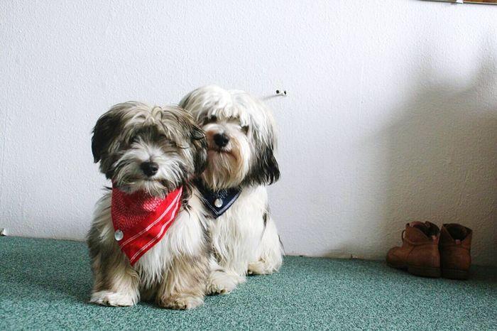 BRUNO & OSKAR Dog Pets Havaneser Indoors  Sitting Shoes