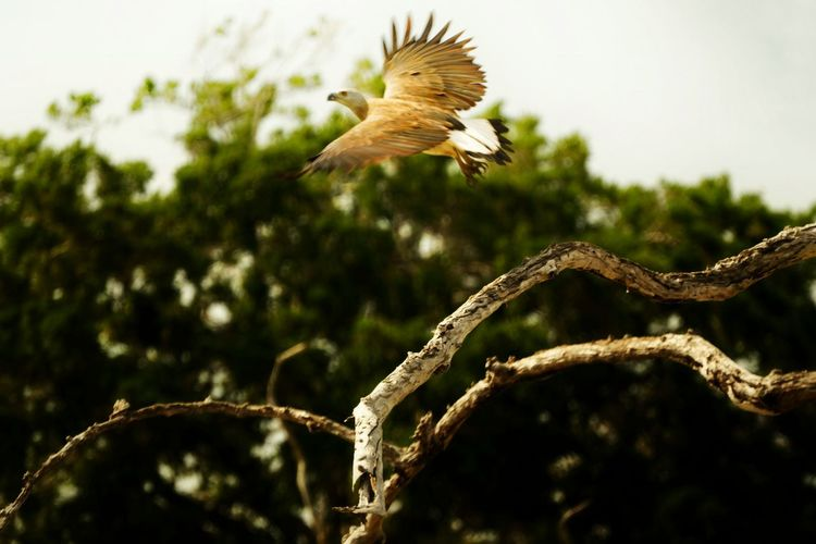 Animals In The Wild Bird Animal Wildlife Plant Flying Tree Animal Themes Animal Vertebrate Focus On Foreground One Animal No People Spread Wings Nature Day Branch Low Angle View Mid-air Outdoors Close-up Eagle