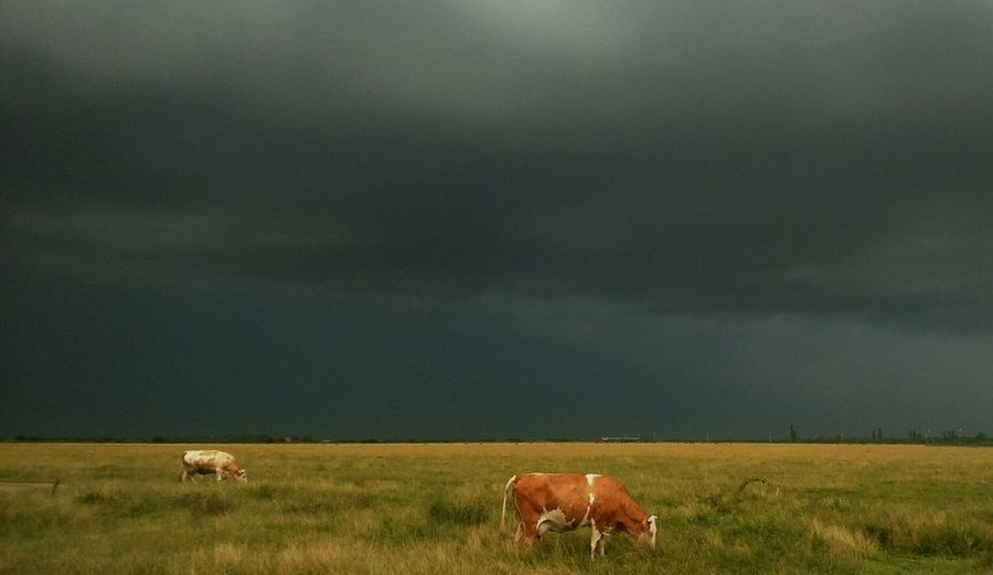 Before the storm Livestock Rural Scene Agriculture Field Grazing Grass Outdoors Nature No People Animal Themes Domestic Animals Landscape Mammal Sky EyeEmNewHere Epicsky Epic Shot Photography Dramatic Sky Beauty In Nature Green And Brown Colour Backgrounds