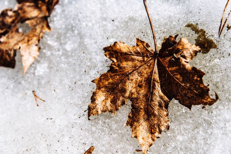 Close-up of dry maple leaves on snow
