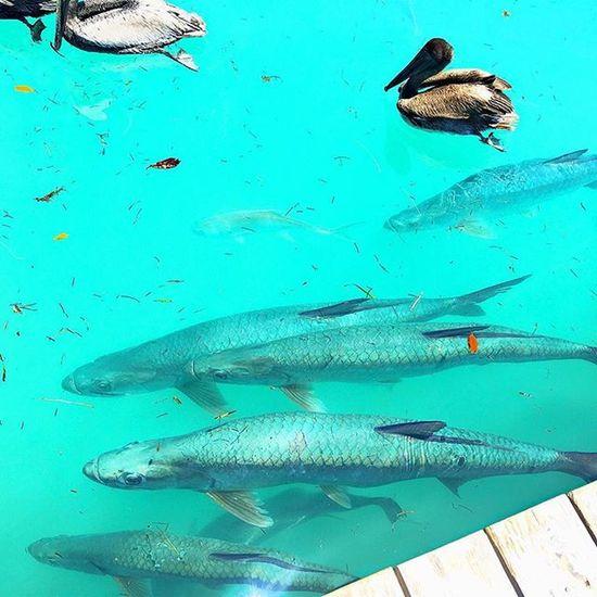 Florida Keys Tarpon Fish Pelicans Hashtags Sundaze