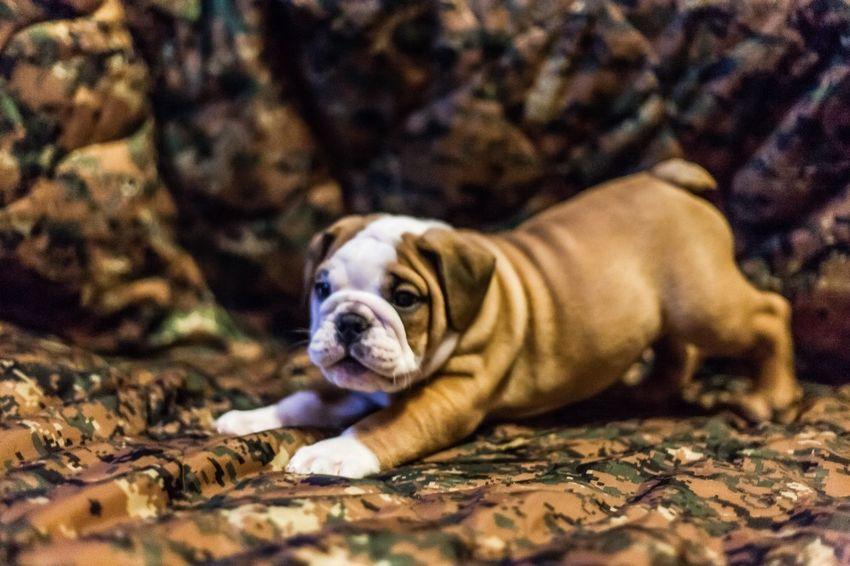 Everybody loves a woobie Bulldog Woobie Puppy