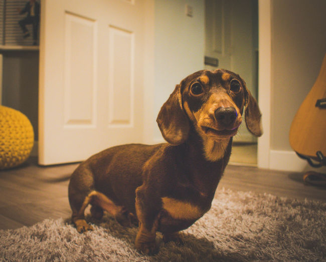 Animal Themes Dachshund Day Dog DogLove Dogoftheday Domestic Animals Home Interior Homesweethome Indoors  Mammal Mansbestfriend Matte No People One Animal Pastel Colors Pet Photography  Pets Soft Focus