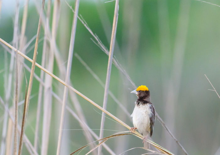 Munia Animal Themes Animal Wildlife Animals In The Wild Bird Close-up Day Munia Nature No People One Animal Outdoors Perching Yellow