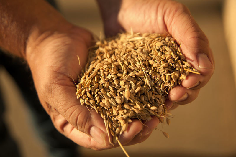 Farmer holding rice Human Hand Hand Holding Human Body Part One Person Food And Drink Food Close-up Seed Raw Food Focus On Foreground Healthy Eating Hands Cupped Finger Rice Farming Agriculture Texture Sunlight And Shadow
