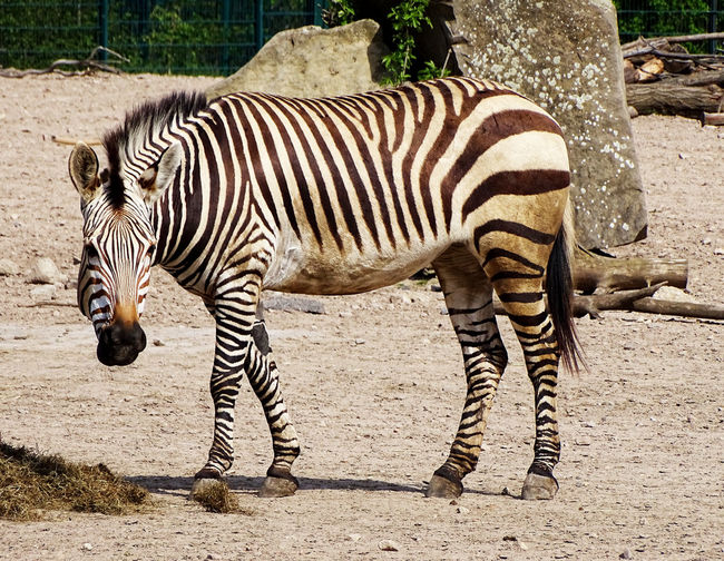 Zebra Zebra♥ Mammal Zoo Animal Animal Photography Animal_collection Animal Portrait EyeEm Gallery Beauty In Nature EyeEm Best Shots
