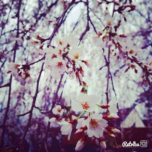 Sakura しだれ桜 Taking Photos Beautiful