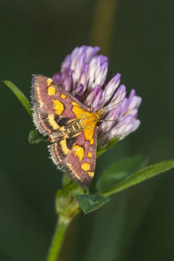 A purple borer