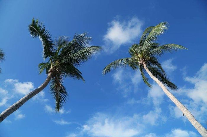 Palm Tree Nature Tree Blue Low Angle View Clear Sky No People Close-up Beauty In Nature Livingplanet Journey Phangan Islandlife Leaf Lifestyles Amazing View Clear Sky Summer Sand Suratthani Thailand EyeEmNewHere
