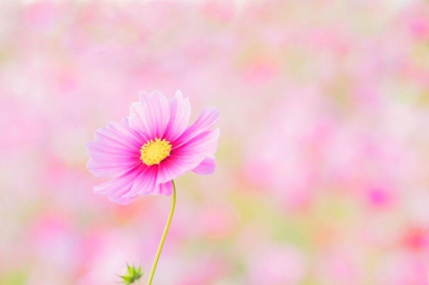 10月の晴れた日 秋桜 コスモス Flower Flower Head Cosmos Flower 秋 Autumn ファインダー越しの私の世界 写真で伝えたい Eyemphotography Flowers, Nature And Beauty ピンク色 Flower Collection Flower Photography